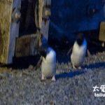 紐西蘭旅遊日記(10)飆車看企鵝