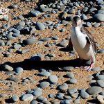 紐西蘭旅遊(New Zealand Travel)南島景點 歐馬陸(Oamaru)看企鵝