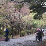 2014台北陽明山花季櫻花溫泉美食一日遊(Yang Ming Shan Flower Festival one day trip)