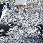 阿根廷旅遊(Argentina Travel)烏蘇懷亞看企鵝(Ushuaia Penguin Tour)
