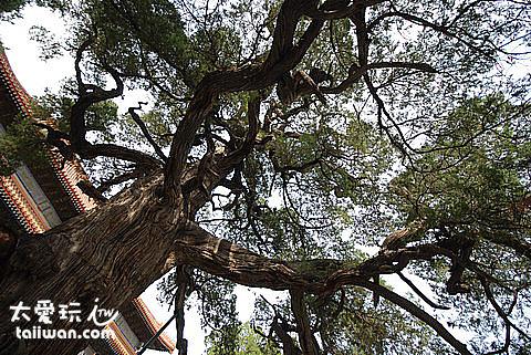 北京孔廟古樹