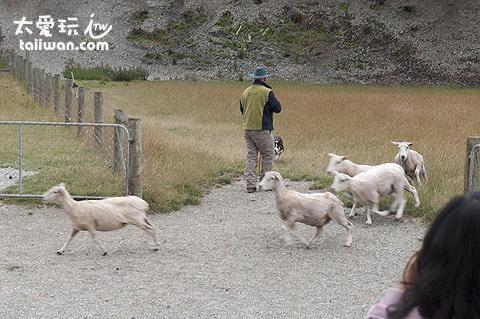 牧羊犬趕羊