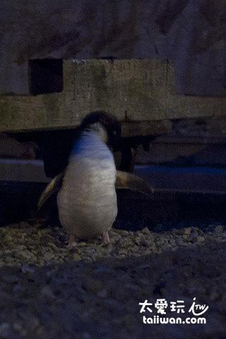 可愛的藍企鵝