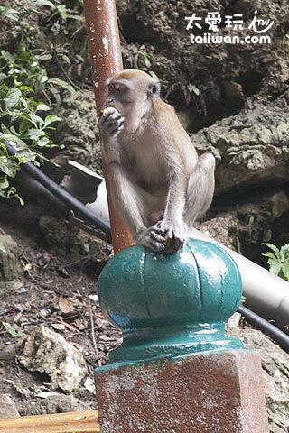 黑風洞(Batu Cave)猴子