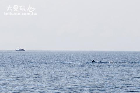 沒看到鯨鯊至少還有海豚看