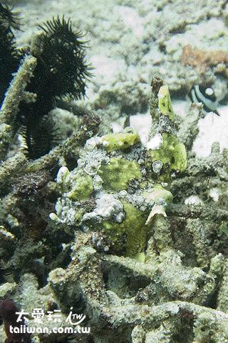 娃娃魚Frog Fish