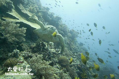 超幸運!巧遇海龜