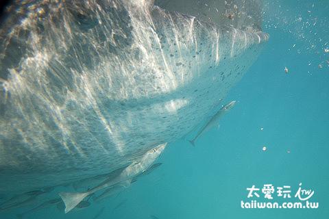 鯨鯊腹部總是有些小跟班