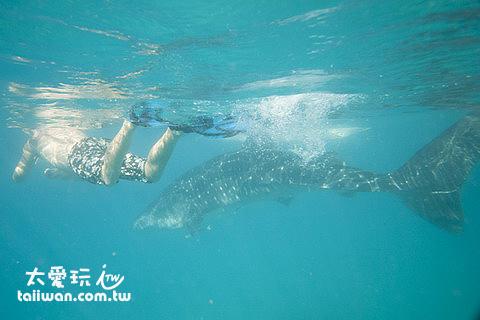 鯨鯊非常大一隻