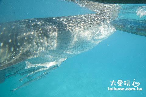 鯨鯊吸食中