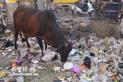 印度的大街上常常是這個樣子