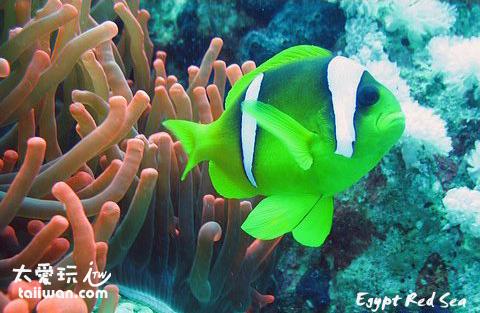 海葵與小丑魚