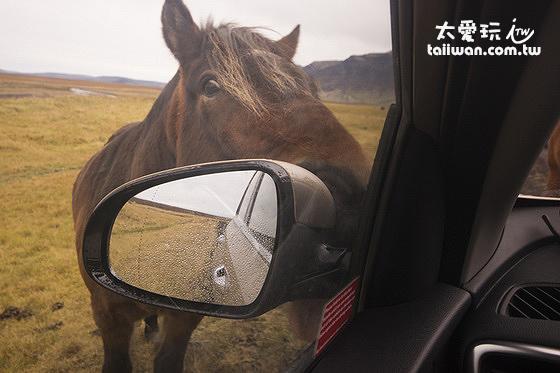 冰島馬的熱情如果你有機會一定會印象深刻