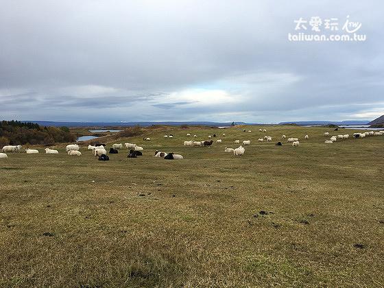 米湖的羊群