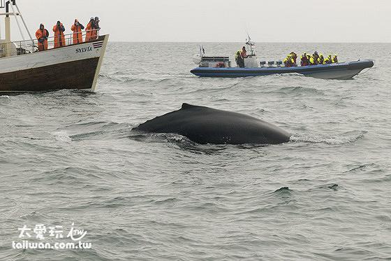 Húsavík胡薩維克出海看鯨魚