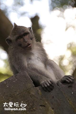 靈巧的猴子