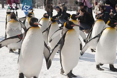 冬季来北海道旅游最不可错过的就是旭山动物园的企鹅漫步