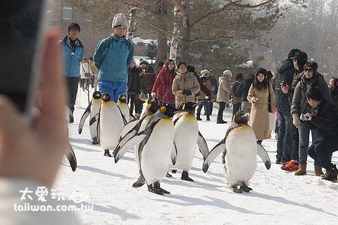 可爱度破錶的企鹅散步
