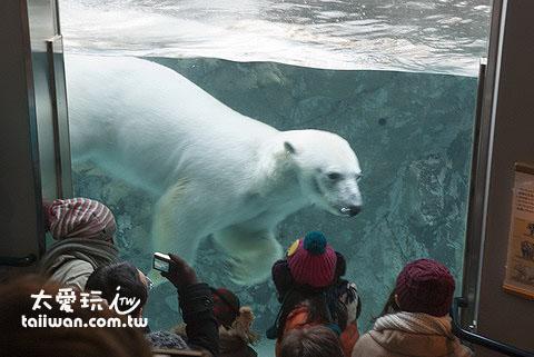 透过玻璃看到巨大的北极熊在水裡游来游去享用大餐