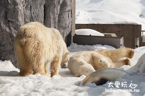 冰天雪地看北极熊才有Fu