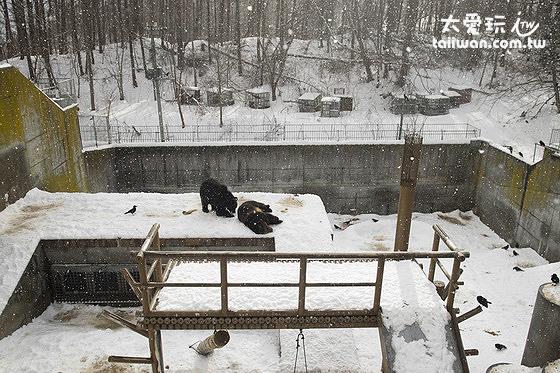 熊牧場的棕熊們