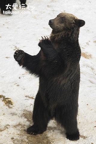 當棕熊看到你手上的蘋果時,會直接站起來雙手合十跟你拜託,樣子非常可愛