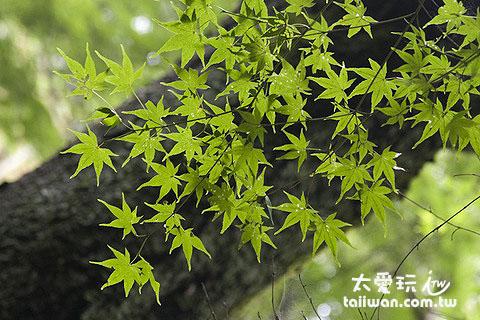 夏天的楓樹一樣美