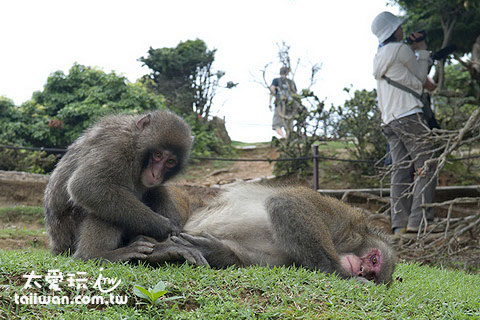 到處都有猴子盤據
