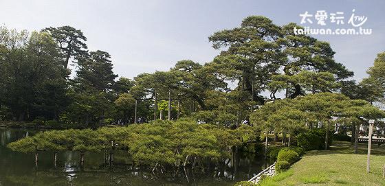 兼六園的奇樹