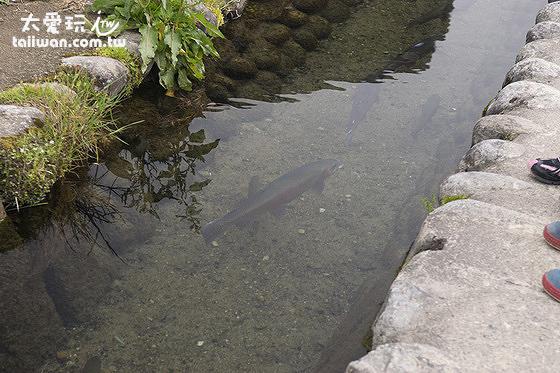 合掌村居民們在水溝內養魚