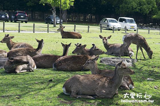 奈良公園有1200頭以上的野生奈良鹿