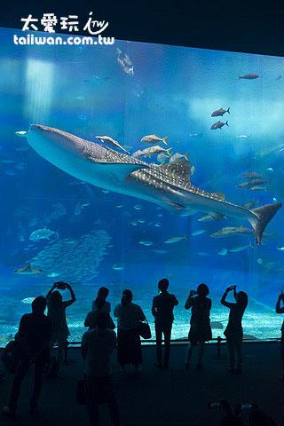 世界最大的魚類 - 鯨鯊