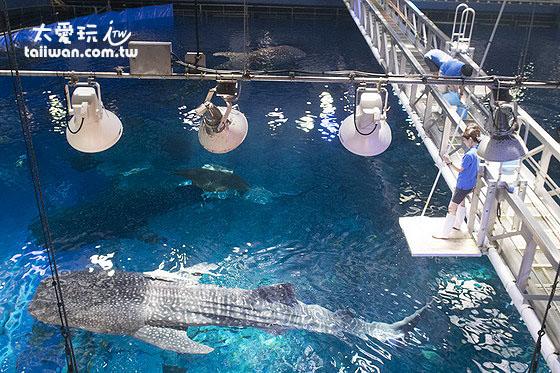 从上面看鲸鲨