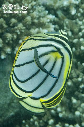 美麗的珊瑚礁魚類