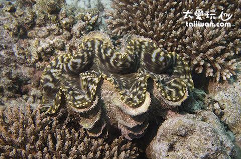 馬爾地夫浮潛水下美景 - 車渠貝