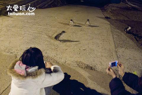 紐西蘭看企鵝