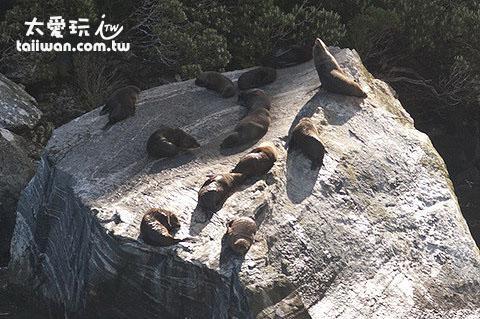 紐西蘭軟毛海豹