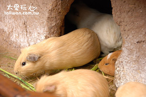 秘魯人的主食-天竺鼠