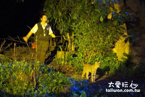 新加坡夜間動物園大貓表演