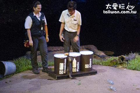 新加坡夜間動物園浣熊表演