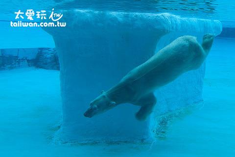 北極熊玩水