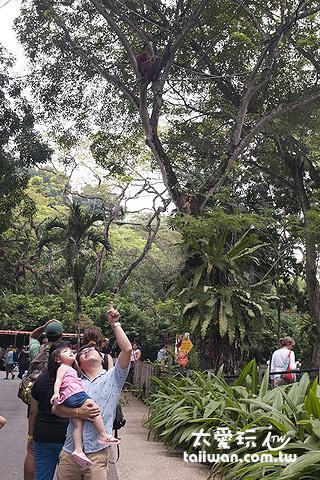 人猿就在頭頂上盪來盪去