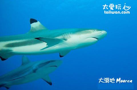 黑鰭鯊及灰鯊