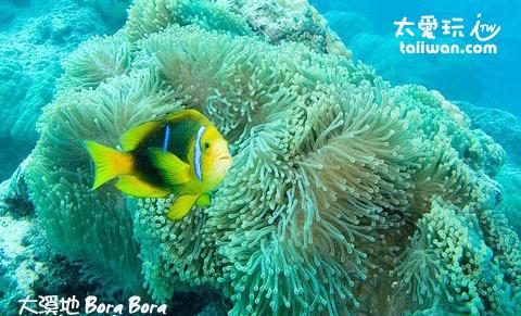 小丑魚與海葵
