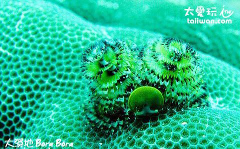 聖誕珊瑚蟲
