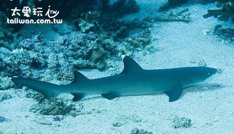 停在沙地上休息的白鰭鯊