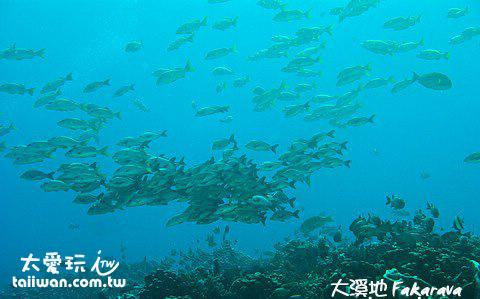 隆背笛鯛聚集成一團團的魚球