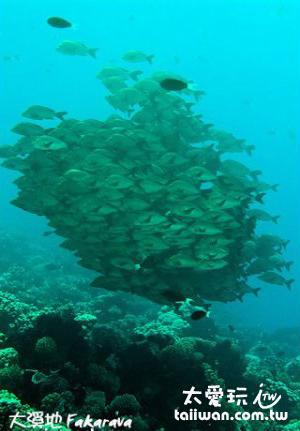 隆背笛鯛魚球