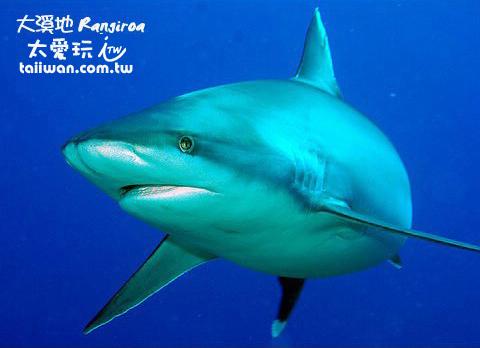 超大隻的鯊魚