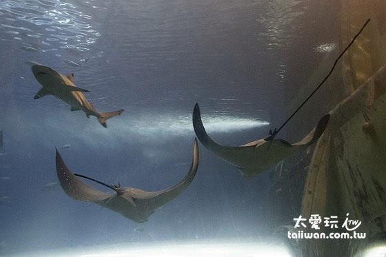 魟魚與鯊魚的相遇